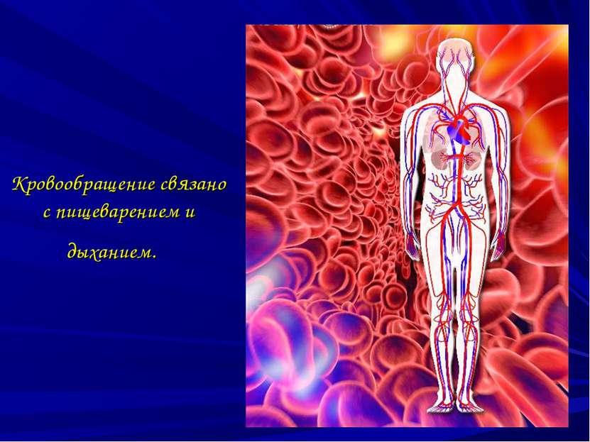Кровообращение связано с пищеварением и дыханием.