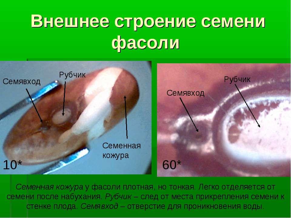 Внешнее строение семени фасоли Семенная кожура Семявход Рубчик 10* Семявход Р...