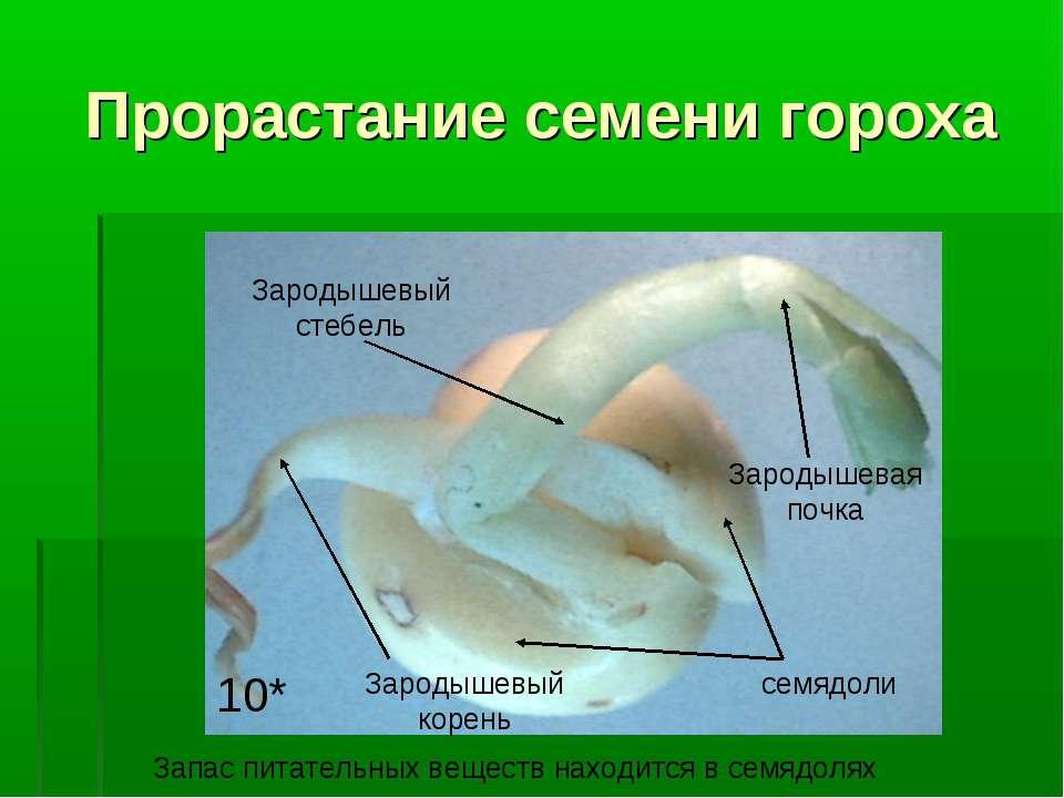 Прорастание семени гороха семядоли Зародышевый корень Зародышевый стебель Зар...
