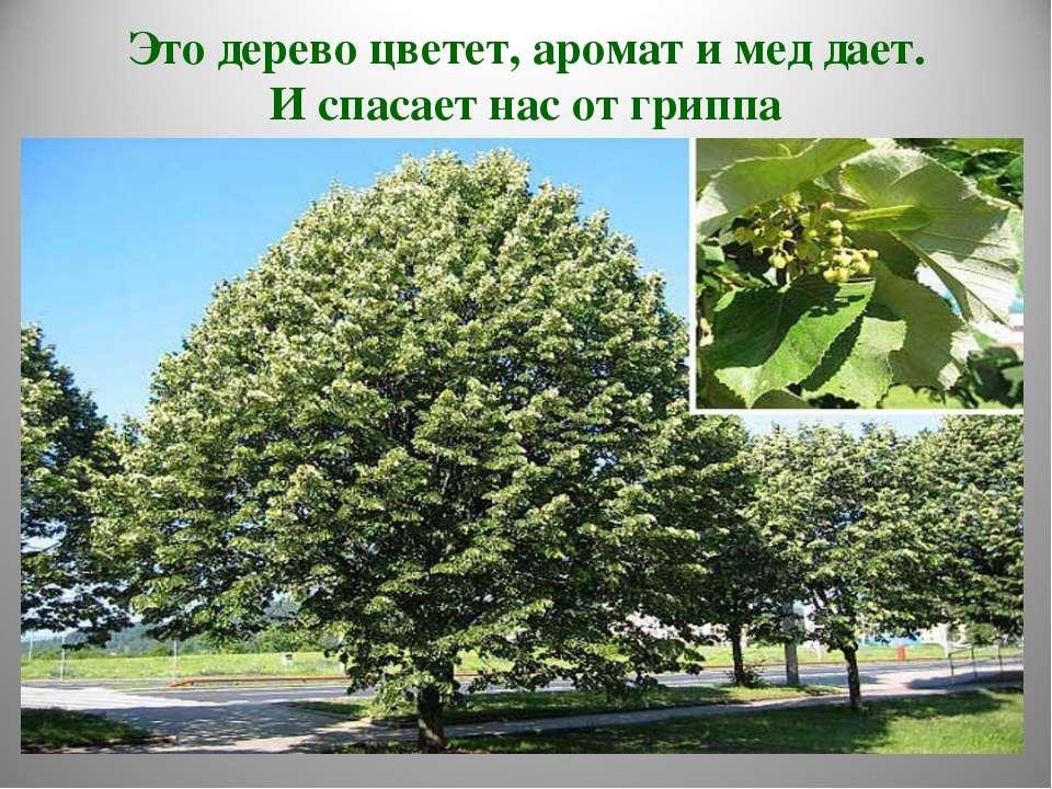 Это дерево цветет, аромат и мед дает. И спасает нас от гриппа