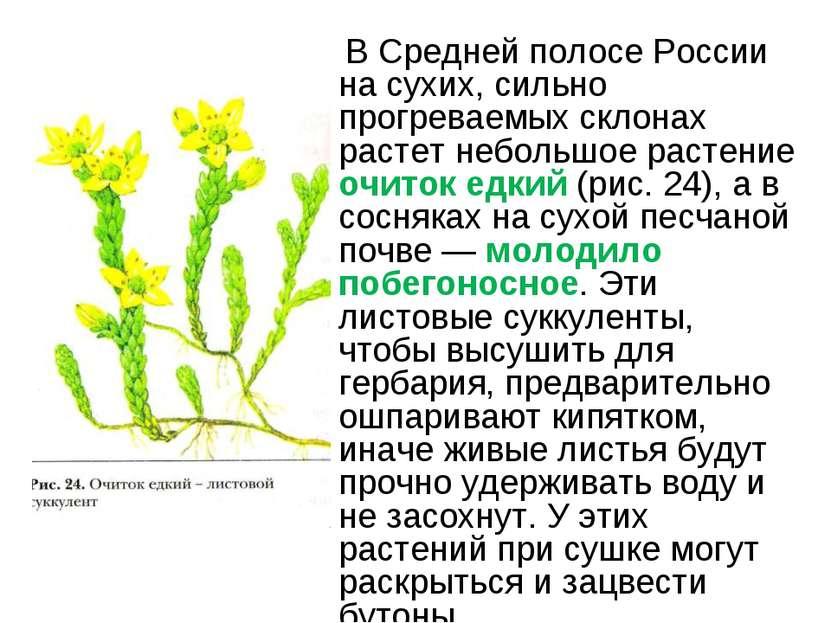 В Средней полосе России на сухих, сильно прогреваемых склонах растет небольшо...