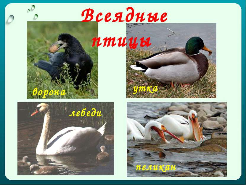 ворона утка пеликан лебеди Всеядные птицы