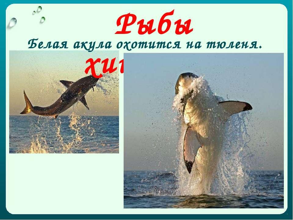 Рыбы хищники: Белая акула охотится на тюленя.