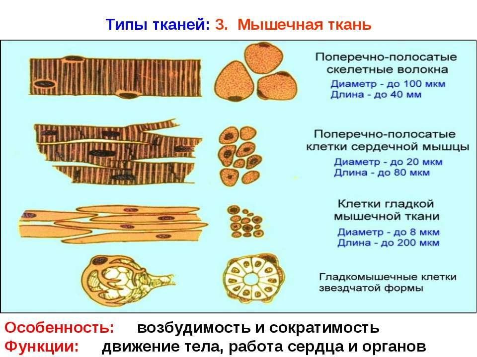 Типы тканей: 3. Мышечная ткань Особенность: возбудимость и сократимость Функц...