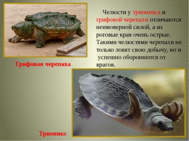 Грифовая черепаха Трионикс Челюсти у трионикса и грифовой черепахи отличаются...