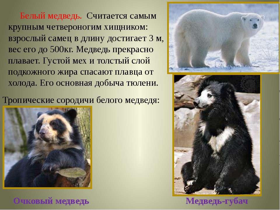 Белый медведь. Считается самым крупным четвероногим хищником: взрослый самец ...