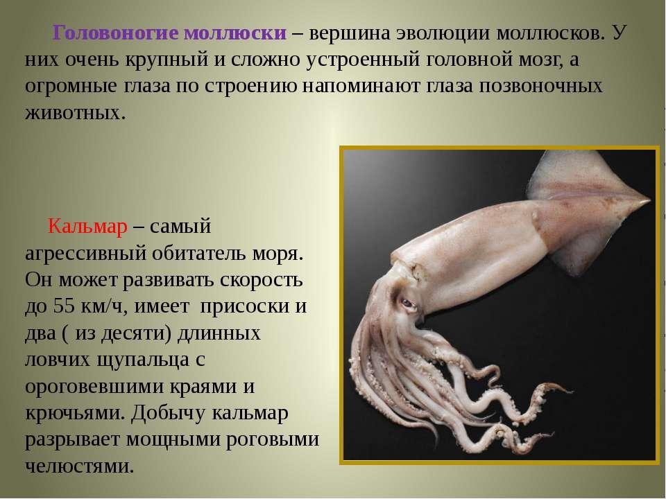 Головоногие моллюски – вершина эволюции моллюсков. У них очень крупный и слож...
