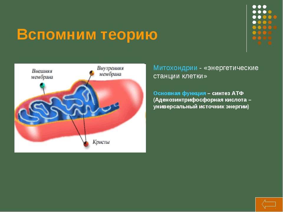 Вспомним теорию Митохондрии - «энергетические станции клетки» Основная функци...