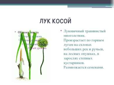 ЛУК КОСОЙ Луковичный травянистый многолетник. Произрастает по горным лугам ...