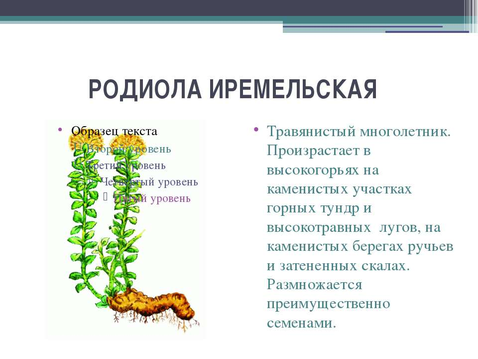 РОДИОЛА ИРЕМЕЛЬСКАЯ Травянистый многолетник. Произрастает в высокогорьях на...