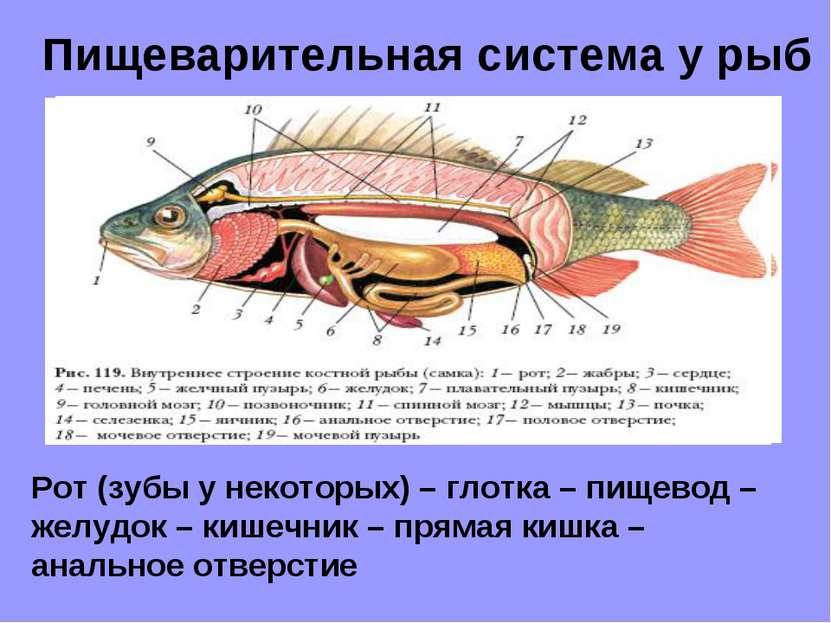 Пищеварительная система у рыб Рот (зубы у некоторых) – глотка – пищевод – жел...