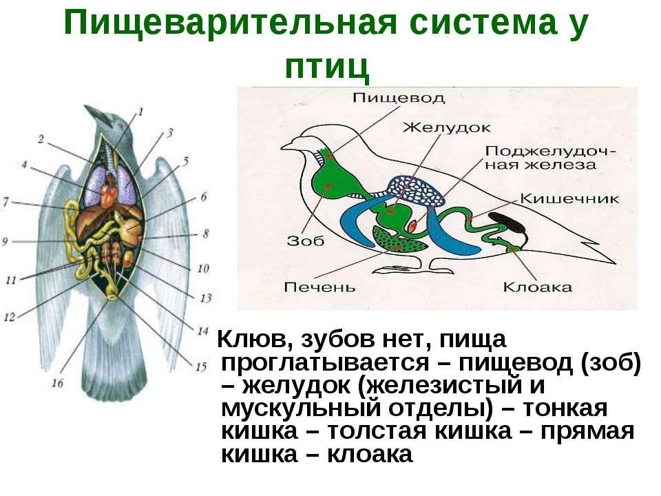 Пищеварительная система у птиц Клюв, зубов нет, пища проглатывается – пищевод...