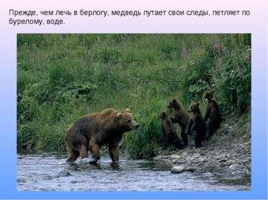 Прежде, чем лечь в берлогу, медведь путает свои следы, петляет по бурелому, в...