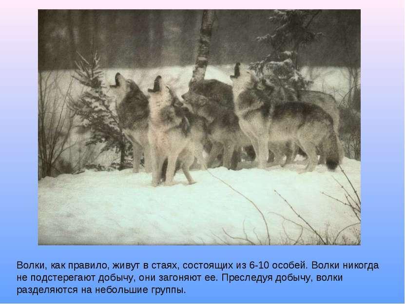 Волки, как правило, живут в стаях, состоящих из 6-10 особей. Волки никогда не...