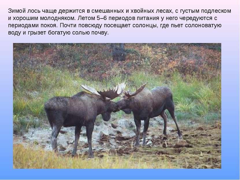 Зимой лось чаще держится в смешанных и хвойных лесах, с густым подлеском и хо...