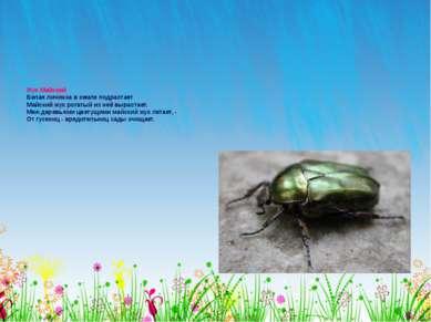 Жук Майский Белая личинка в земле подрастает Майский жук рогатый из неё вырас...