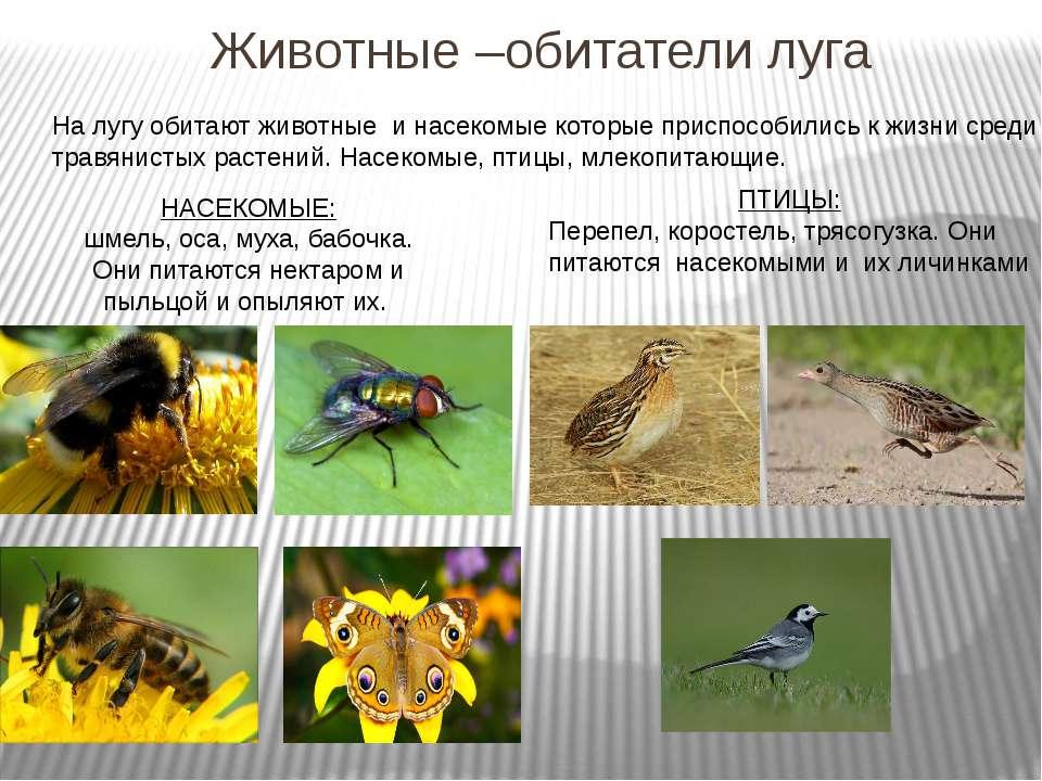 Животные –обитатели луга На лугу обитают животные и насекомые которые приспос...