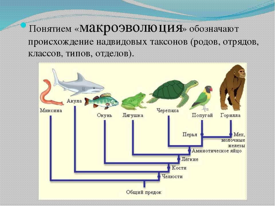 Понятием «макроэволюция» обозначают происхождение надвидовых таксонов (родов,...