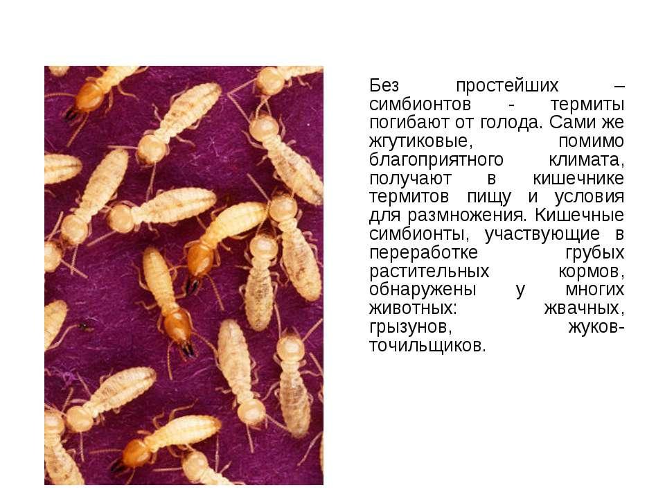 Без простейших – симбионтов - термиты погибают от голода. Сами же жгутиковые,...