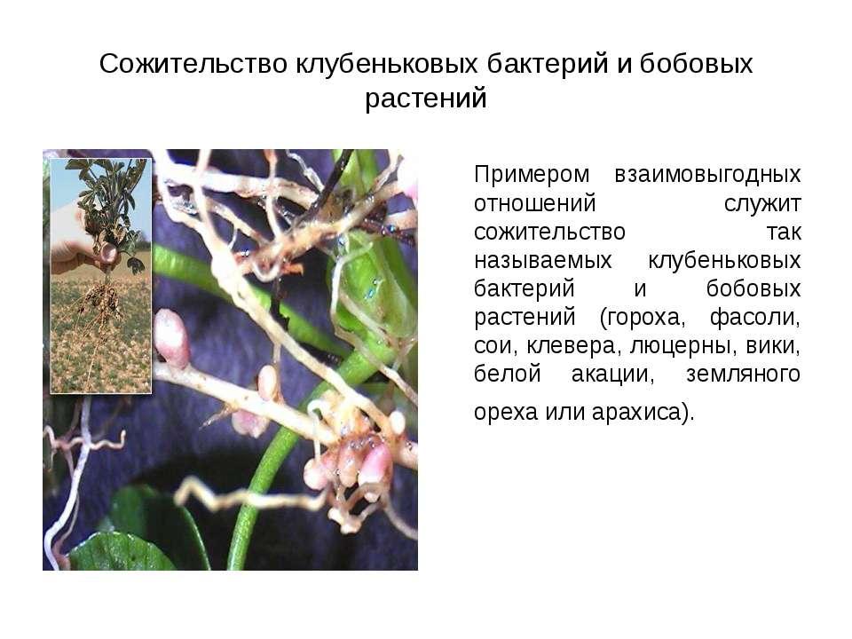 Сожительство клубеньковых бактерий и бобовых растений Примером взаимовыгодных...