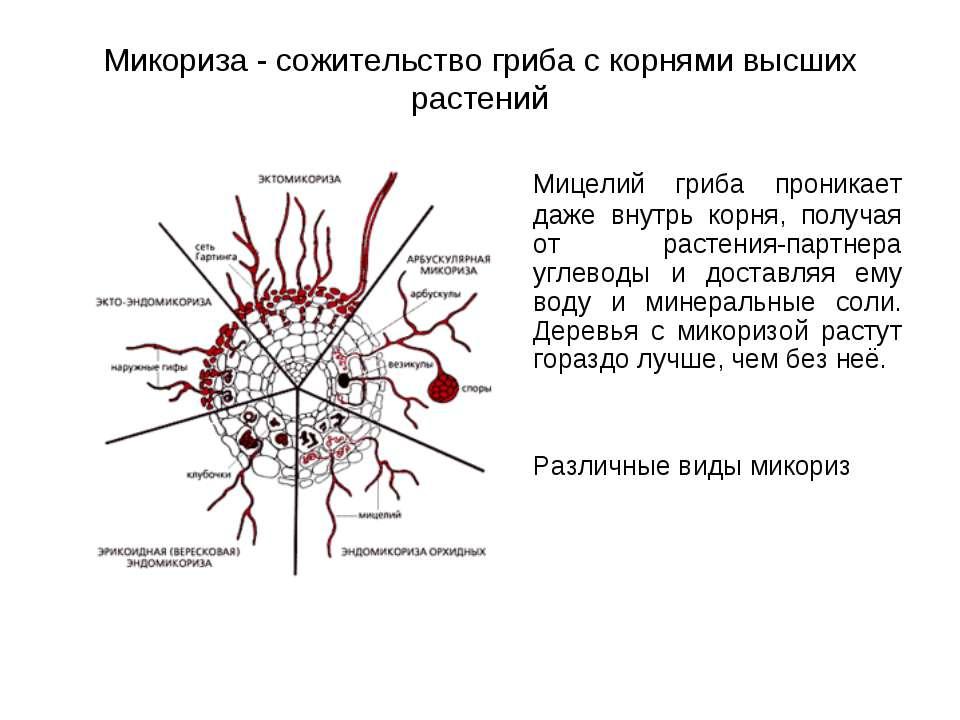 Микориза - сожительство гриба с корнями высших растений Мицелий гриба проника...