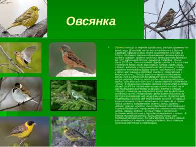 Овсянка Овсянки-птицы из отряда воробьиных, распространенны по всему миру. До...