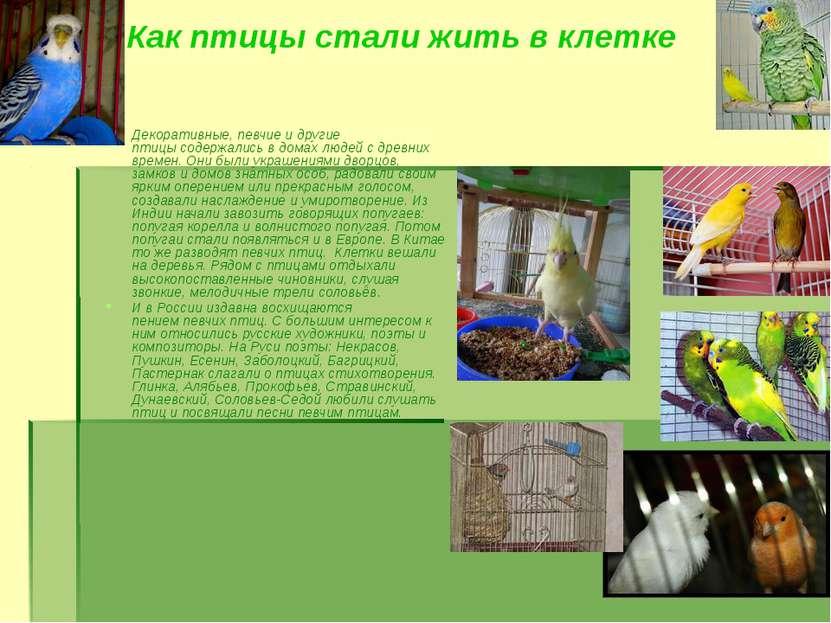 Как птицы стали жить в клетке Декоративные, певчие и другие птицысодержались...