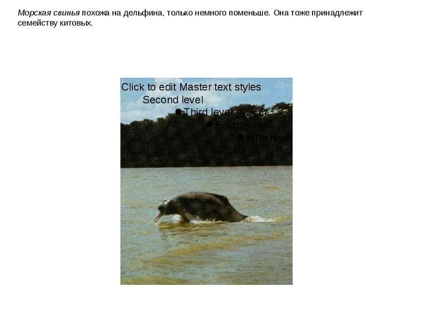 Морская свинья похожа на дельфина, только немного поменьше. Она тоже принадле...