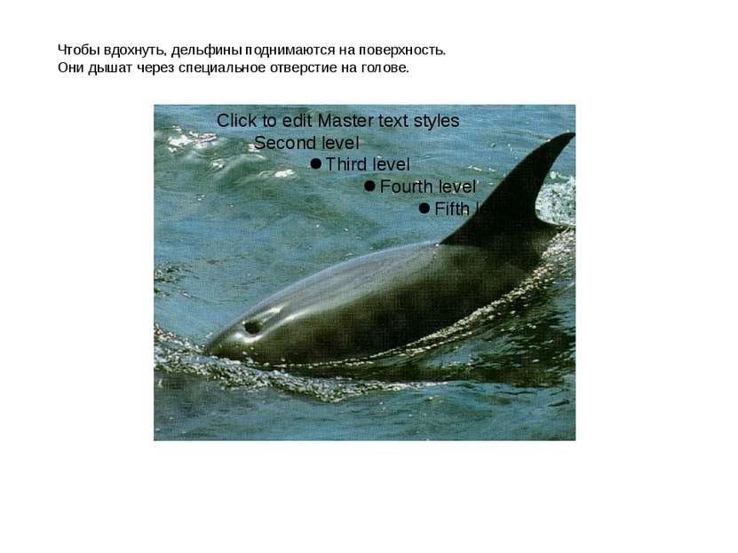 Чтобы вдохнуть, дельфины поднимаются на поверхность. Они дышат через специаль...