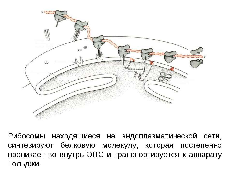 Рибосомы находящиеся на эндоплазматической сети, синтезируют белковую молекул...