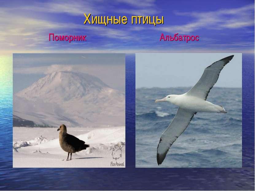 Хищные птицы Поморник Альбатрос