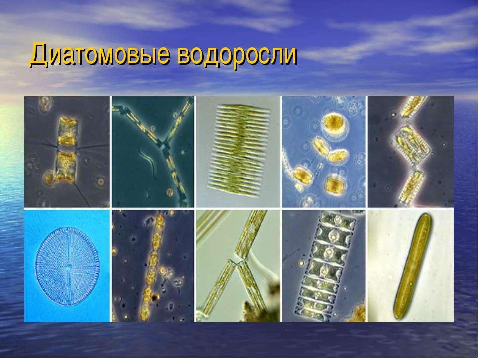 Диатомовые водоросли