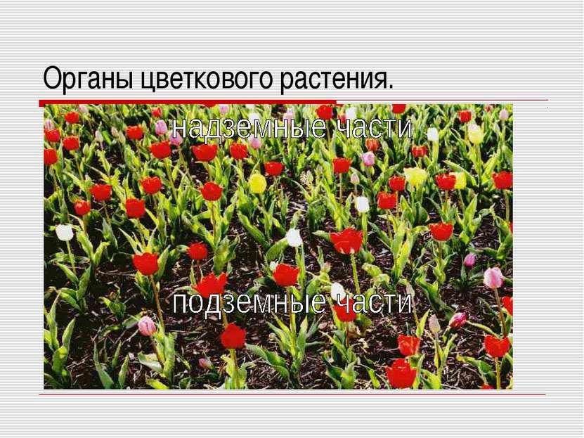 Органы цветкового растения.