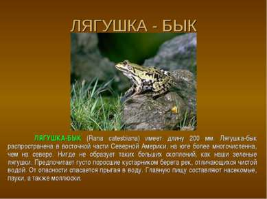 ЛЯГУШКА - БЫК ЛЯГУШКА-БЫК (Rana catesbiana) имеет длину 200 мм. Лягушка-бык р...