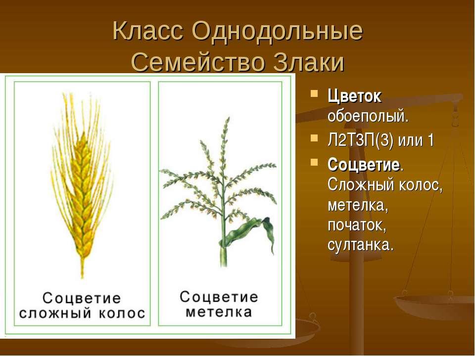 Класс Однодольные Семейство Злаки Цветок обоеполый. Л2Т3П(3) или 1 Соцветие. ...