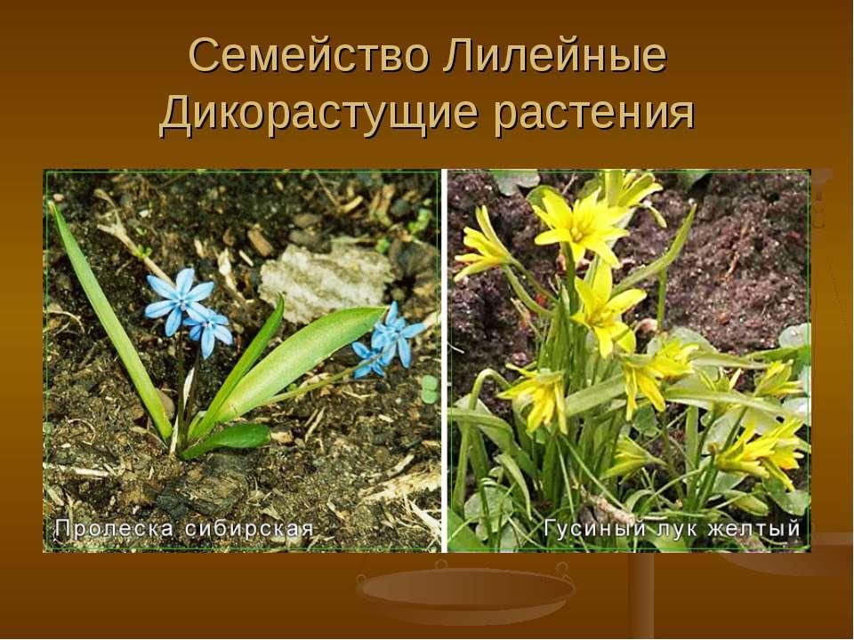 Семейство Лилейные Дикорастущие растения