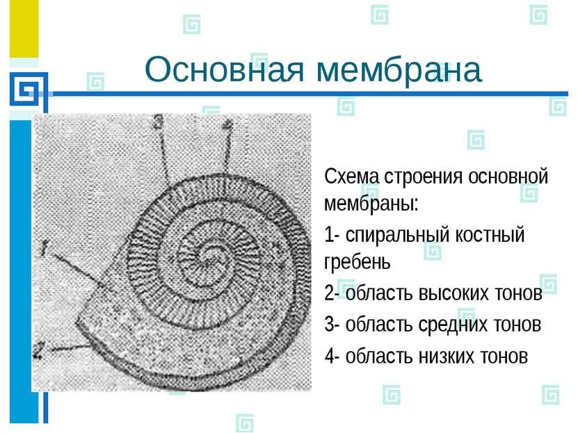 Основная мембрана Схема строения основной мембраны: 1- спиральный костный гре...