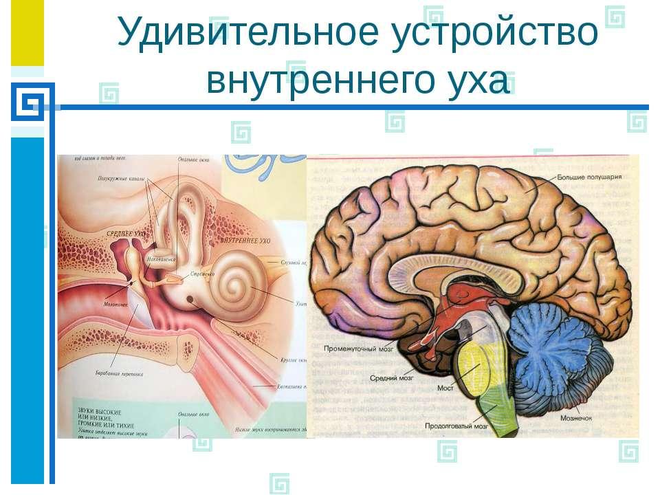 Удивительное устройство внутреннего уха