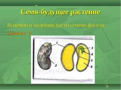 Семя-будущее растение Вспомни и подпиши части семени фасоли Задание 4 16