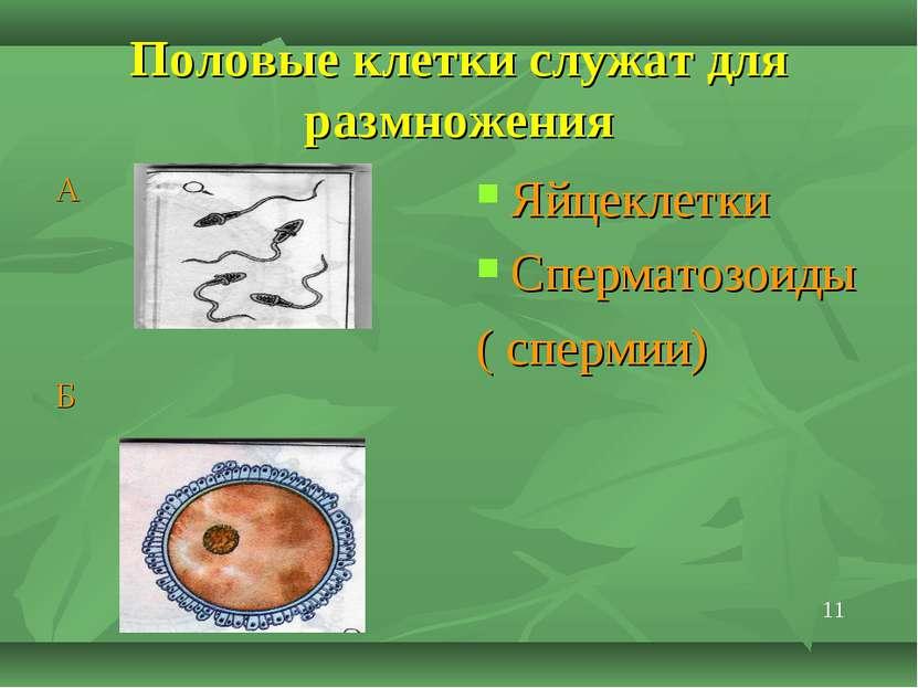 Половые клетки служат для размножения А Б Яйцеклетки Сперматозоиды ( спермии) 11