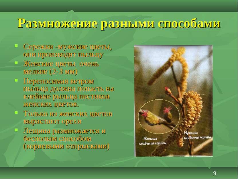 Размножение разными способами Сережки -мужские цветы, они производят пыльцу Ж...