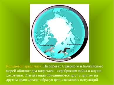 Кольцевой ареал чаек. На берегах Северного и Балтийского морей обитают два ви...