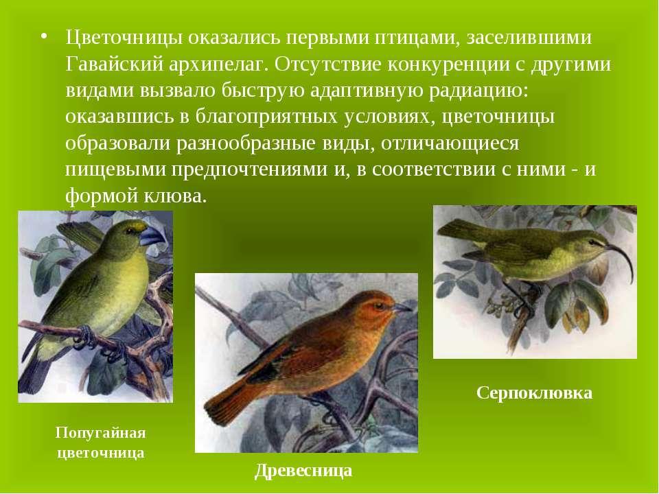 Цветочницы оказались первыми птицами, заселившими Гавайский архипелаг. Отсутс...