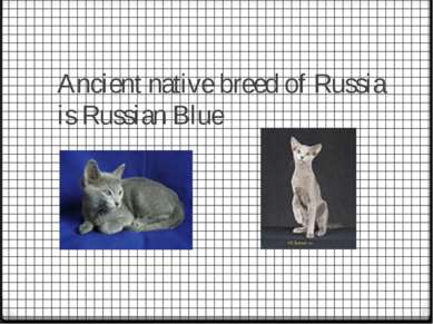 Ancient native breed of Russia is Russian Blue