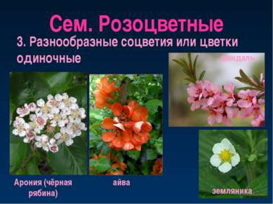 Сем. Розоцветные 3. Разнообразные соцветия или цветки одиночные Арония (чёрна...