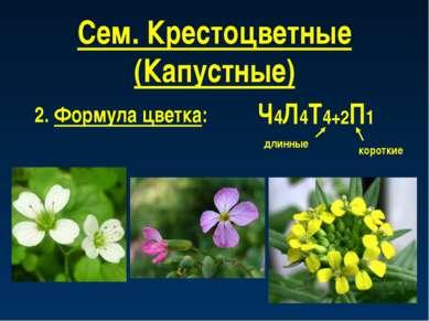 Сем. Крестоцветные (Капустные) 2. Формула цветка: Ч4Л4Т4+2П1 длинные короткие