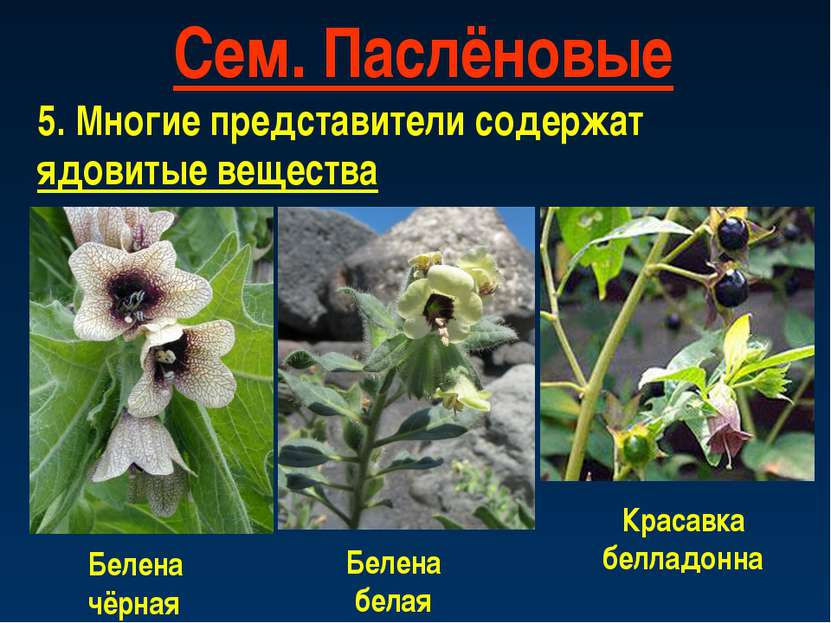 Сем. Паслёновые 5. Многие представители содержат ядовитые вещества Белена чёр...