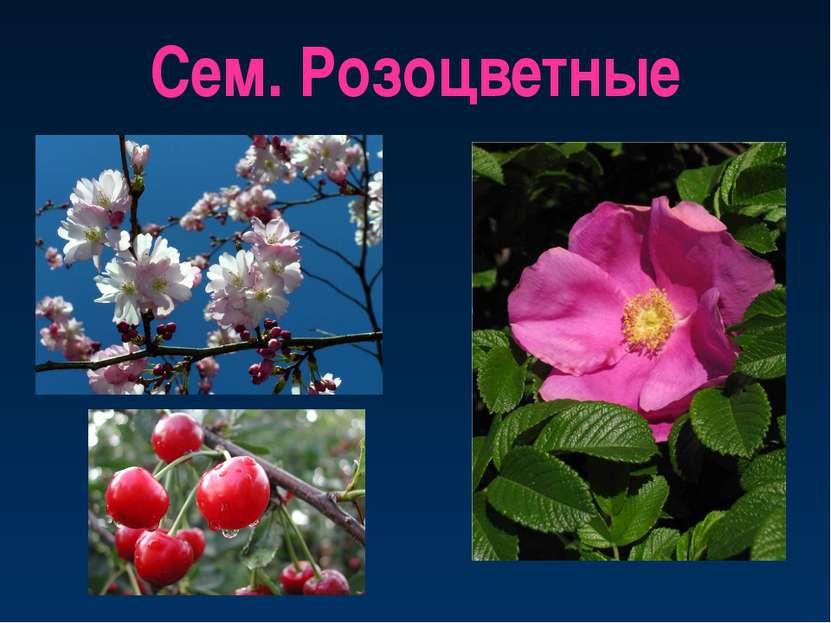 Сем. Розоцветные