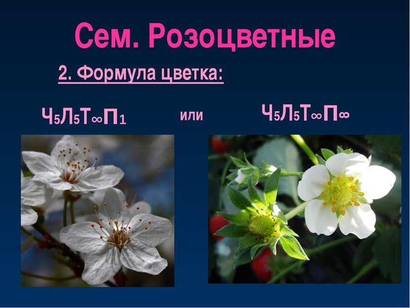 Сем. Розоцветные 2. Формула цветка: Ч5Л5Т∞П1 Ч5Л5Т∞П∞ или