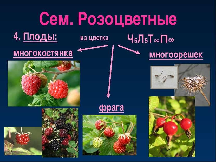 Сем. Розоцветные 4. Плоды: многокостянка из цветка многоорешек Ч5Л5Т∞П∞ фрага